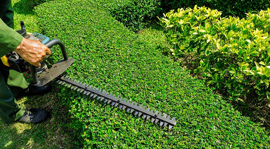 service-tree-bush